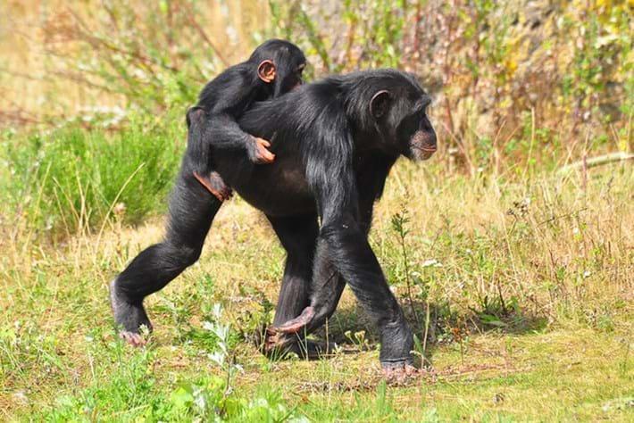 chimpanzee and baby_2014_10_02