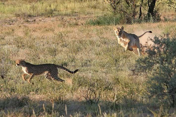 Lion Chasing Cheetah 2014 10 02