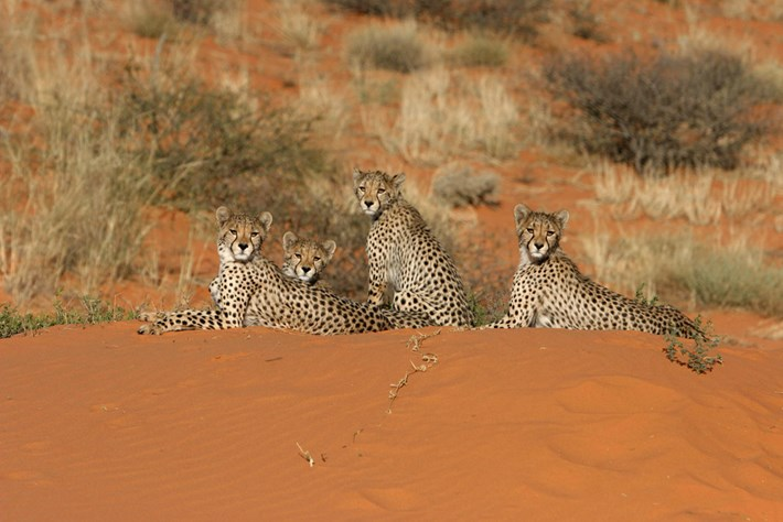 Four Large Cheetah Cubs Resting On A Dune 2014 10 02
