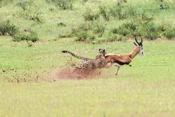 Cheetah Hunting Springbok 2014 10 02