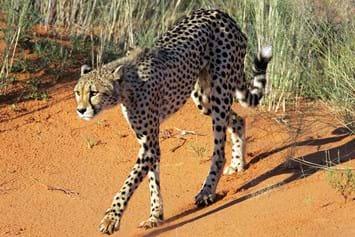 Cheetah Walking 2014 10 02