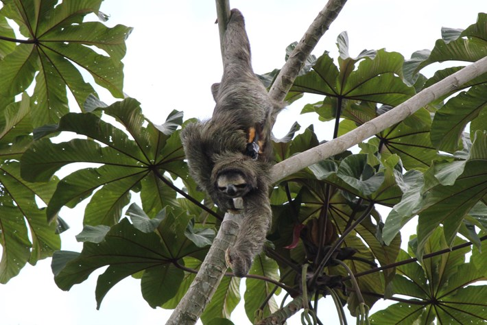 Sloth In Tree 2014 10 07