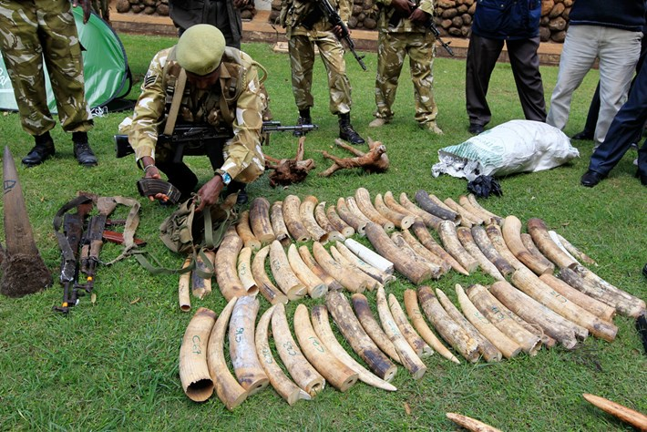 Siezed -ivory -tusks -kenya _2014_10_09
