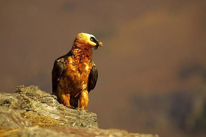 bearded vulture 2_2014_10_10