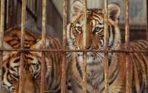 Top 6: Reasons why farmed tigers won't save wild ones