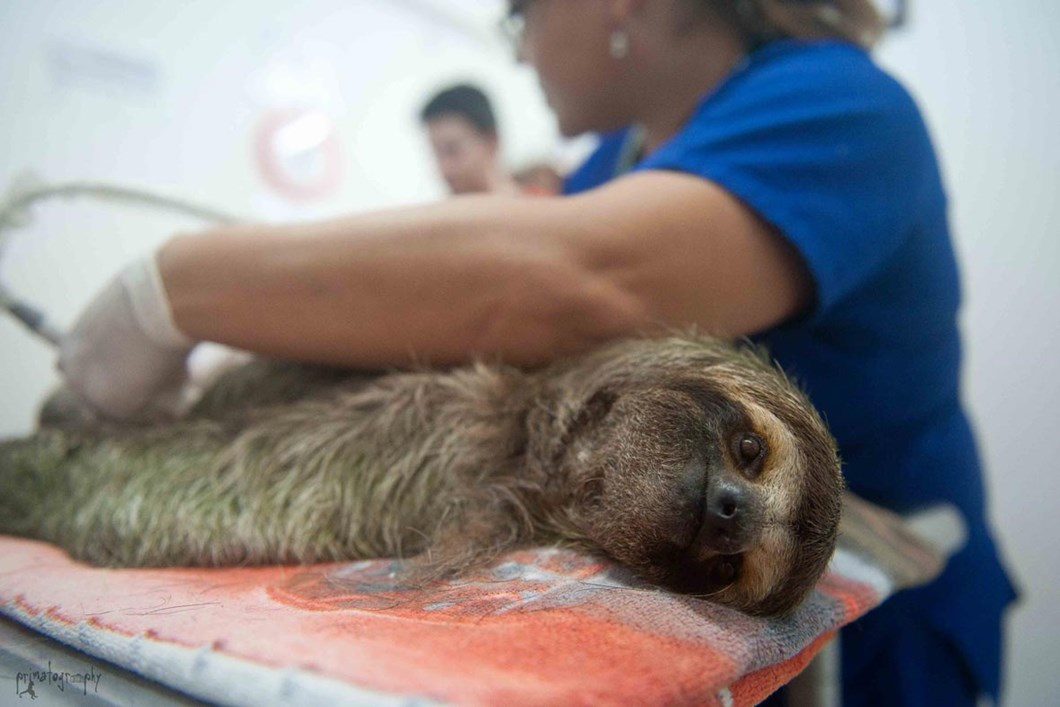 Sloth mom gets an ultrasound