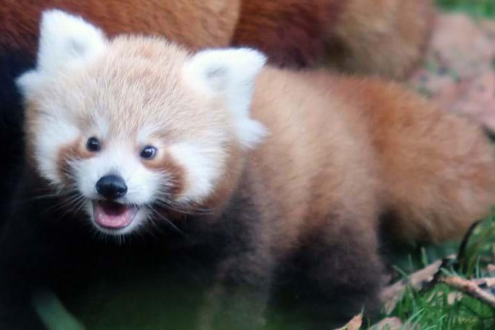 Belfast Zoo red panda baby3_2014_10_17