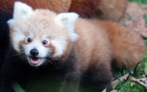 Belfast Zoo's first baby red panda in 18 years is adorable!