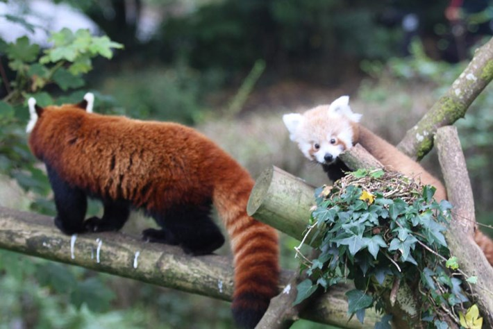 Belfast Zoo red panda baby4_2014_10_17