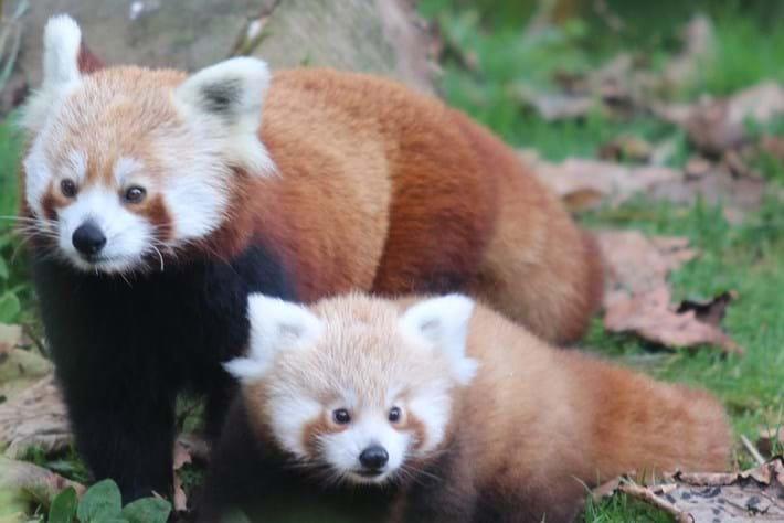 Belfast Zoo red panda baby5_2014_10_17