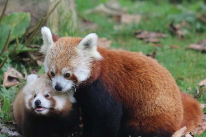 Belfast Zoo red panda baby1_2014_10_17