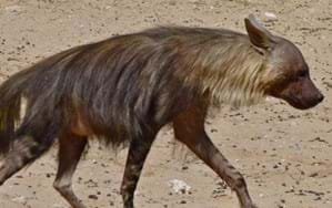 Guess what this brown hyena had for dinner