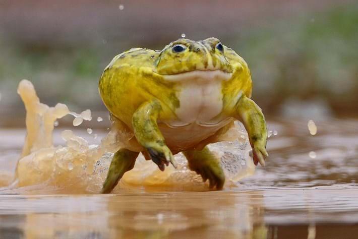 Pyxicephalus adspersus African bullfrog_2014_10_21