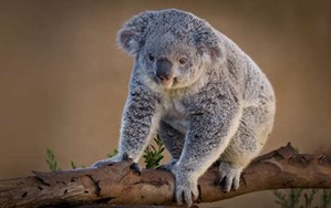 Now available: A genetic instruction manual for koalas