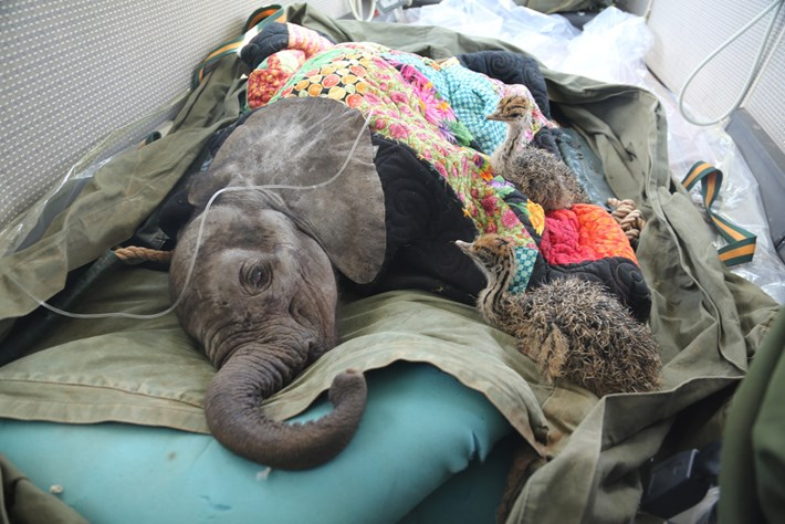 Elephant Ostrich Rescue 2014 10 24