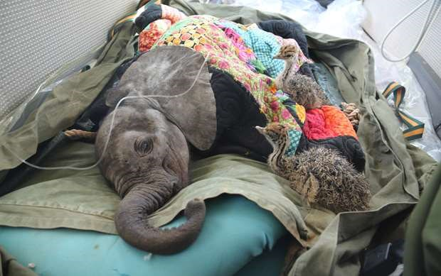 Bumper wildlife rescue saves baby elephant & two young ostriches