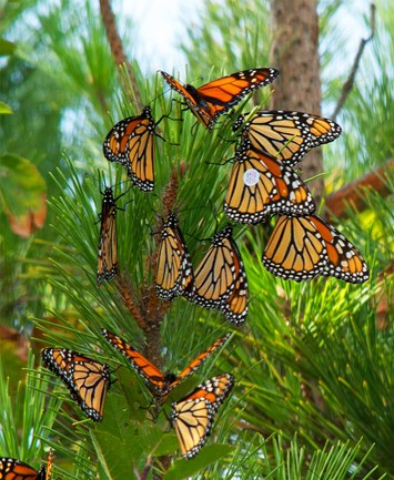 monarch-roost-2014-10-28