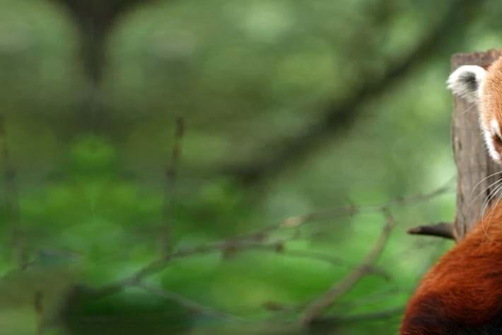 red panda header_2014_11_03