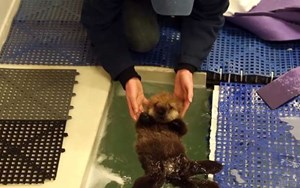 Otterly cute: Rescued sea otter pup finds a new home