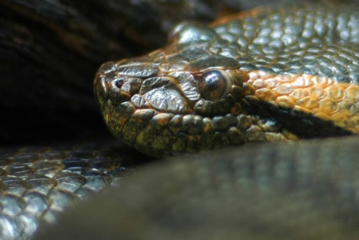 Discovery's Eaten Alive: 5 reasons why you can't get an anaconda to eat you