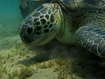 Green -turtle -sea -grass _2014_10_17