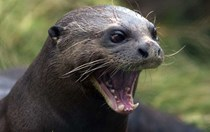Researchers crack the code of otter chatter
