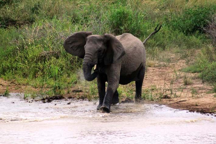 Elephant Charging 2014 11 19
