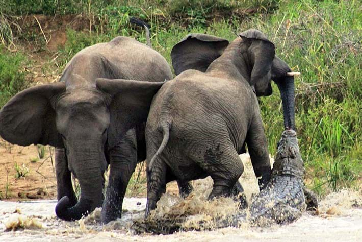 Elephants And Croc 2014 11 19