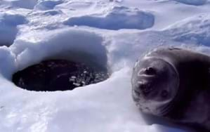 Throwback Thursday: Crybaby seal's hilarious first swim