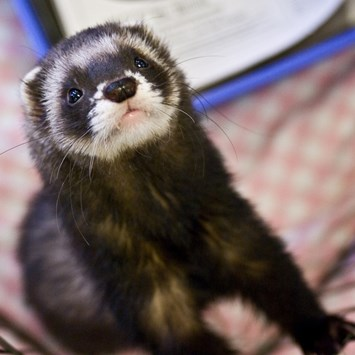 domestic ferret_2014_11_20