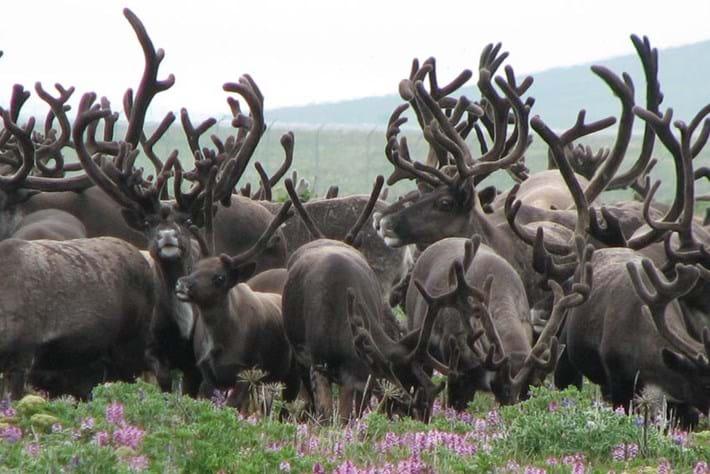 Reindeer -siberia _2014_11_24