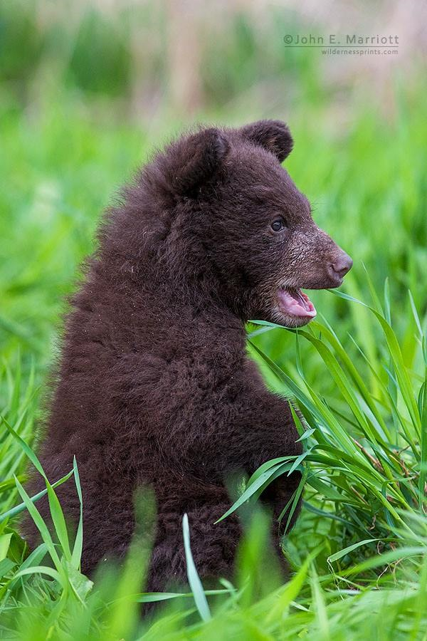 Baby Bear In Grass 2014 11 25