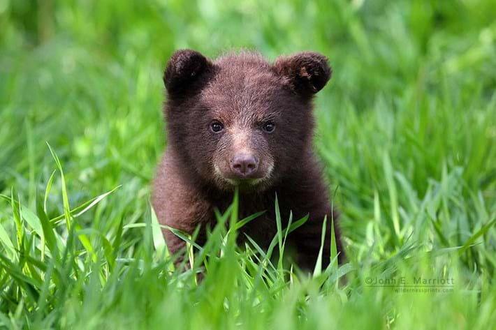 Baby Bear In Grass Portrait 2014 11 25