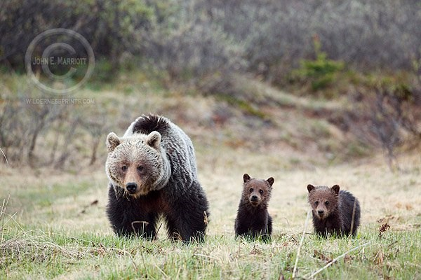 Baby Bears With Mom 2014 11 25