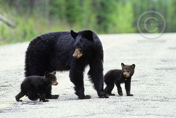 Baby Black Bears With Mom 2014 11 25
