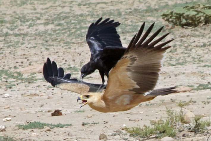 crow riding eagle_2014_11_26