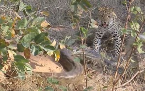 Video: Mama leopard shows her cub the art of python hunting