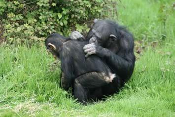 Chimps Grooming 2014 11 27