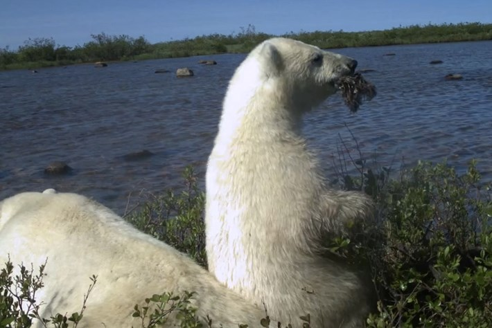 polar bear-page-2014-