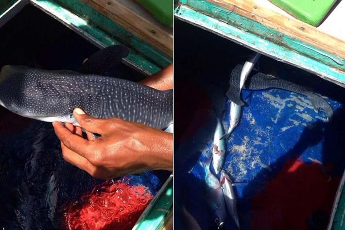 whale shark-found-2014-12-1