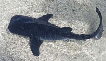 whale shark-baby-2014-12-1
