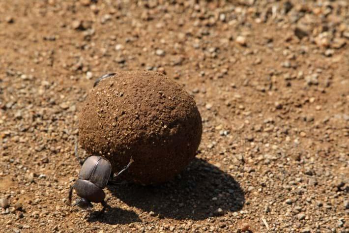 Dung Beetles 2014 12 02