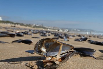 Mussel Wash Up 3 2014 12 02