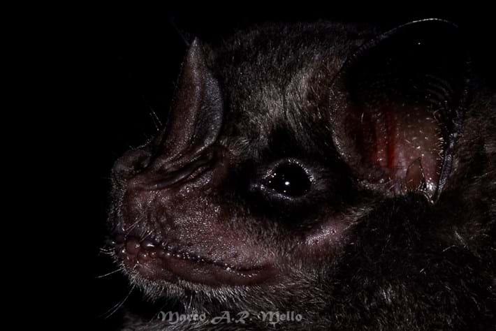 Dark Fruit Eating Bat 2014 12 02