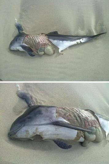 harbour porpoise carcass_2014_12_03