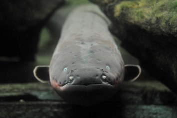 electric eel_2014_12_04