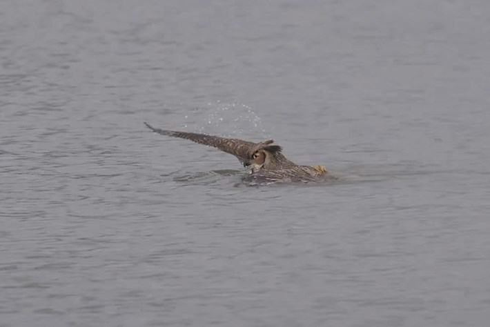 No, this owl is not going for a swim