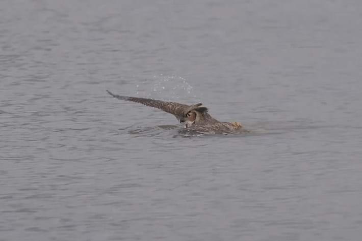 owl swim-page-2014-12-4