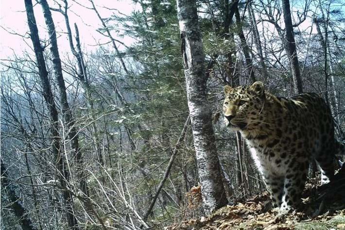 Amur Leopard 2014 12 09