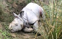 In Photos: Baby Indian rhino rescued after tiger attack